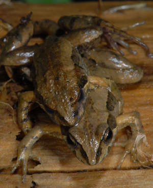 mating-frogs